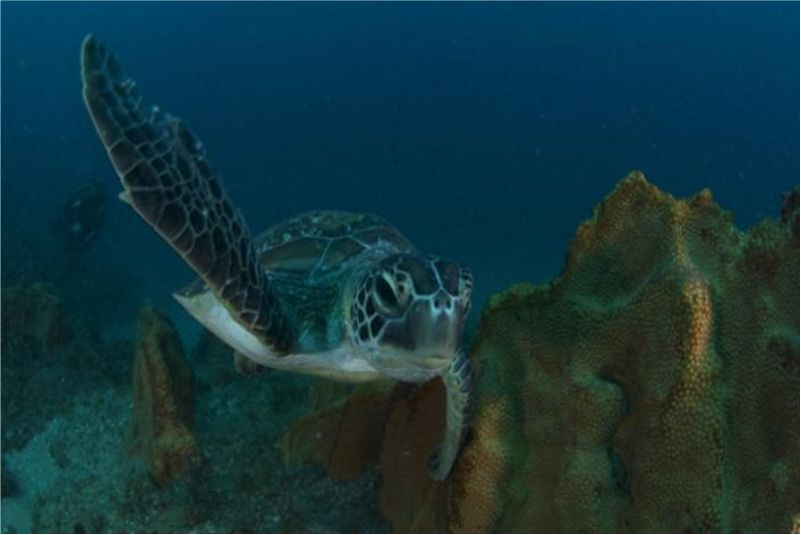 Sea turtle mozambique