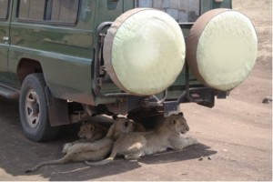 lionesses underneath car