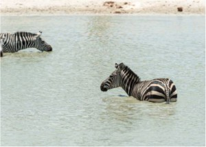 zebras in the water