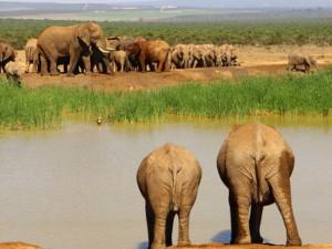 addo elephants watering hole