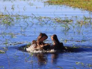 chobe river 2 hippos