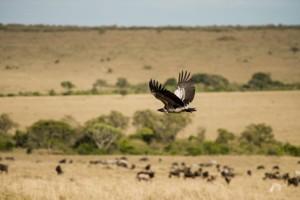 eagle flying over savannah