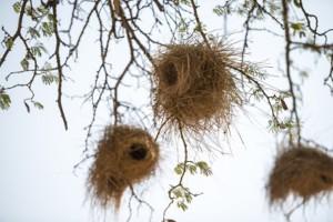 namibia birds nest deser