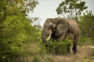 elephant grazing kruger park