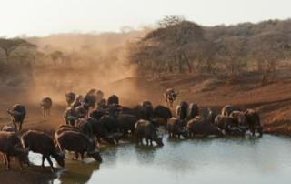 kruger buffalo herd