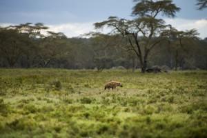 hyena in park tanzania