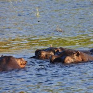 hippo Kruger National Park