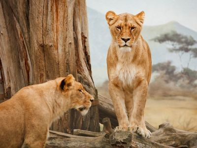 two lions standing