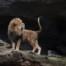 Lion screaming