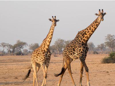 giraffe zambia safari