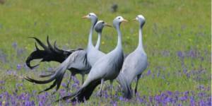blue crane endangered wildlife africa