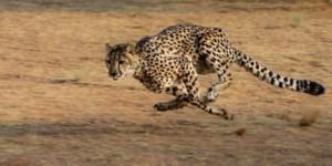 Cheetah african safari
