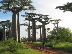 rare baobab tree southern africa