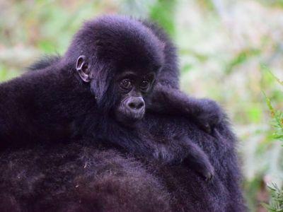 mountain gorilla endangered wildlife africa
