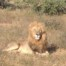 Lion National Kruger Park