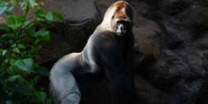 mountian gorilla endangered wildlife