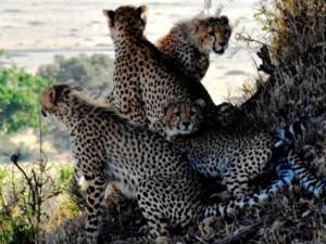Cheetah Family Serengeti