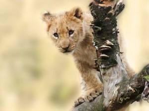 Lion Cub Ngorongoro Crater