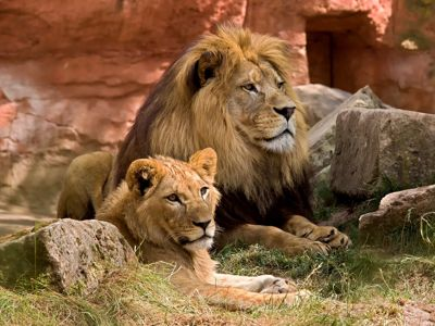 Lions resting Ngorongoro Crater