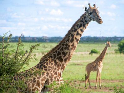 nairobi giraffe park