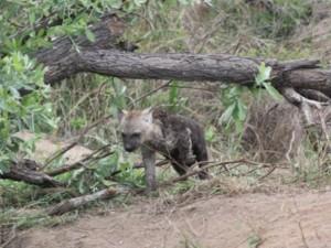 Baby Hyena Kruger National Park Safari