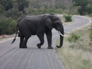 Elephant crossing road Kruger National Park Safari