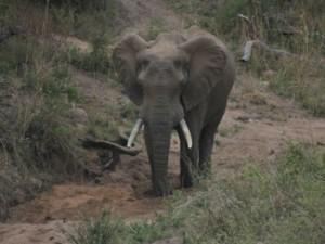 Elephant digging for water Kruger National Park Safari
