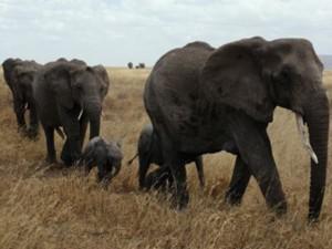 Botswana elephant budget safaris