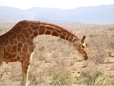 giraffe budget safari