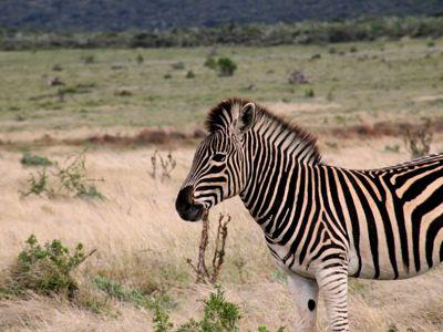 zebra addo elephant park