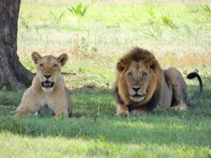 Lions Addo Elephant National Park Garden Route South Africa