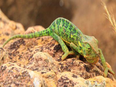 Chameleon Overland Safari