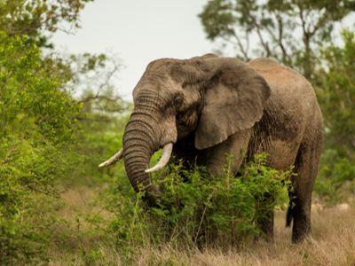 Elephant Kruger National Park Safari