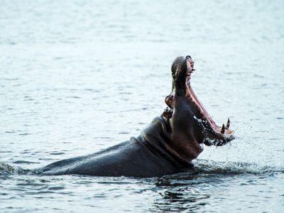 Hippo Chobe River Botswana