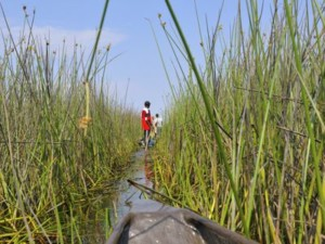 Mokoro Safari Reeds Okavango Delta Botswana