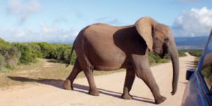 Elephant in Kruger National