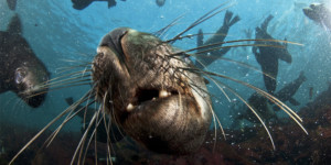 Seal snorkeling Hout Bay Cape Town