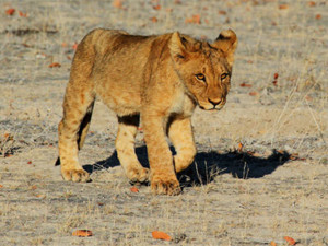 ion cub in Etosha national park