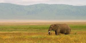 Tanzanian elephant on the Serengeti