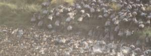 herd of wildebeest cross a river