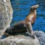 Cape fur seal on rock near Robben Island