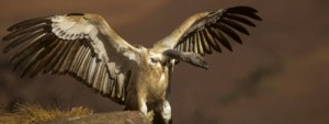 Cape Vulture spreading its wings