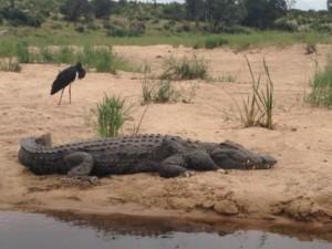 crocodile near the water
