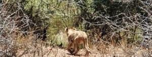 lion cub in the bush