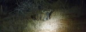 Wildebeest in the dark