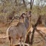 Kudu eating