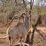 Kudu eating