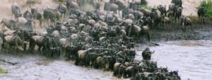River crossing of wildebeest