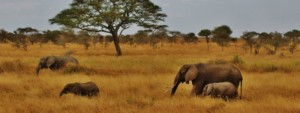 elephants walk in the bush