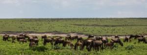 massive herd of wildebeest in an open field
